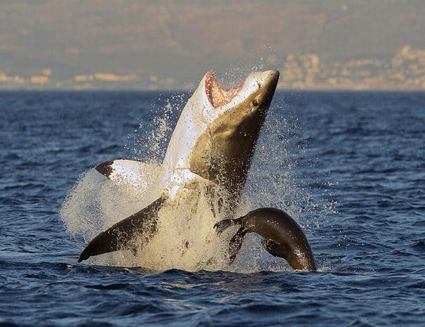 Shark_Cage_Diving_Gansbaai
