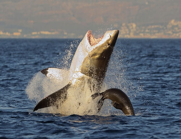 Shark_Cage_Diving_Gansbaai