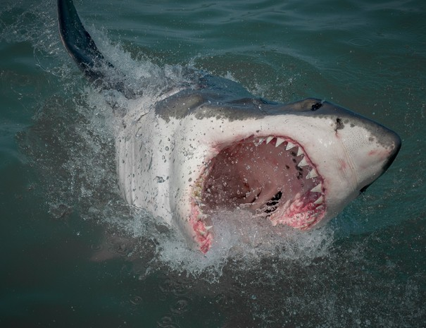 Shark_Cage_Diving