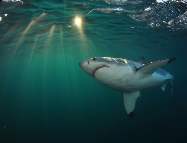 Shark_Cage_Diving_Tours
