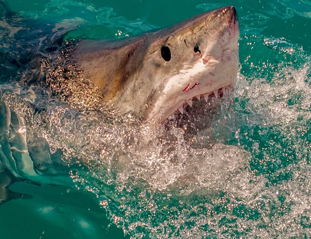 Shark_Cage_Diving_Trip